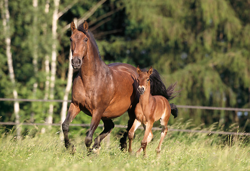 HOR 01 SS0029 01 © Kimball Stock Bay Andalusian Mare And Foal Cantering In Pasture