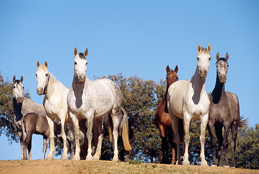 HOR 01 SS0033 01 © Kimball Stock Herd Of Andalusian Horses Standing In Pasture