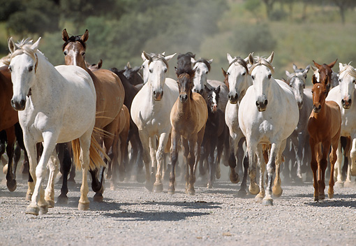 HOR 01 SS0034 01 © Kimball Stock Herd Of Andalusian Horses Running