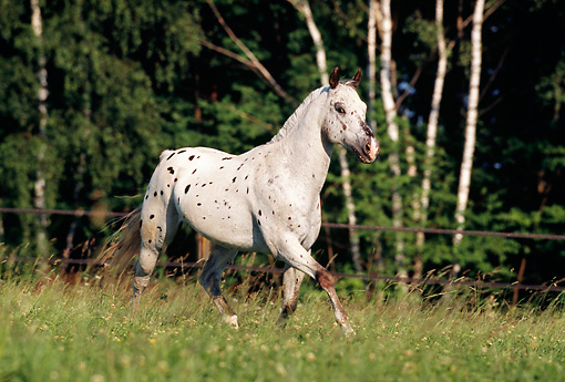 HOR 01 SS0038 01 © Kimball Stock Leopard Appaloosa Horse Trotting In Pasture