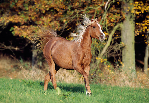 HOR 01 SS0044 01 © Kimball Stock Flaxen Chestnut Arabian Horse Cantering In Pasture