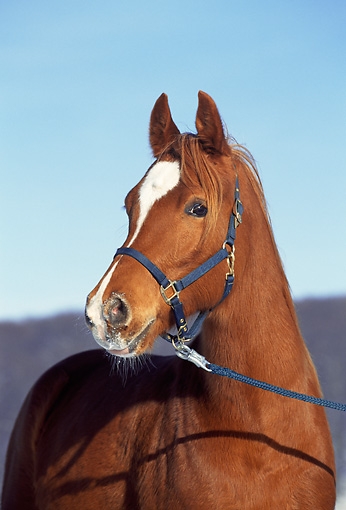 HOR 01 SS0045 01 © Kimball Stock Head Shot Of Chestnut Arabian Horse