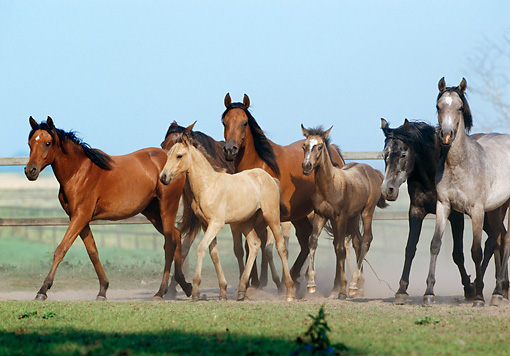 HOR 01 SS0048 01 © Kimball Stock Herd Of Arabian Horses Trotting In Pasture