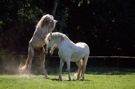 HOR 01 SS0049 01 © Kimball Stock Arabian Horse And Camarague Horse Fighting In Pasture