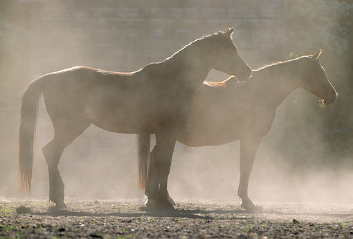 HOR 01 SS0050 01 © Kimball Stock Two Arabian Horses Standing In Dusty Arena