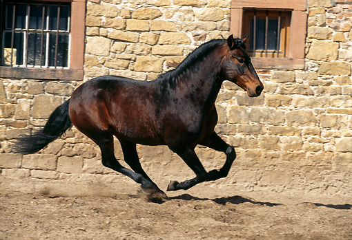HOR 01 SS0052 01 © Kimball Stock Dark Brown Alter-Real Horse Cantering In Arena