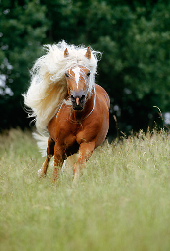 HOR 01 SS0056 01 © Kimball Stock Haflinger Horse Cantering In Pasture