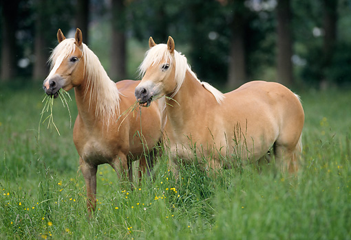 HOR 01 SS0059 01 © Kimball Stock Two Haflinger Horses Standing In Pasture