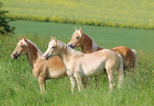 HOR 01 SS0060 01 © Kimball Stock Three Haflinger Horses Standing In Pasture