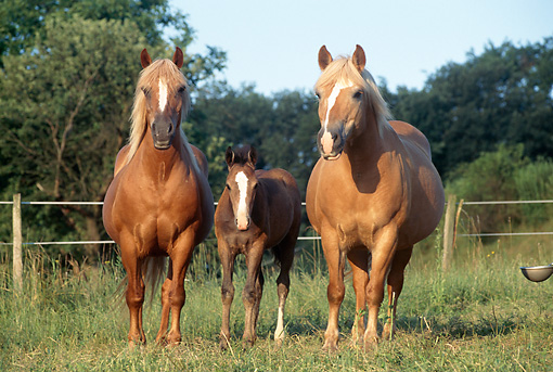 HOR 01 SS0061 01 © Kimball Stock Three Haflinger Horses Standing In Pasture