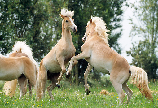 HOR 01 SS0062 01 © Kimball Stock Haflinger Horses Fighting In Pasture