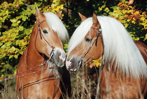 HOR 01 SS0063 01 © Kimball Stock Head Shot Of Two Haflinger Horses In Bridles Kissing