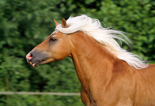 HOR 01 SS0064 01 © Kimball Stock Head Shot Of Haflinger Horse Running