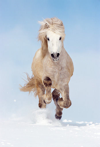 HOR 01 SS0068 01 © Kimball Stock Gray Icelandic Horse Running In Snow