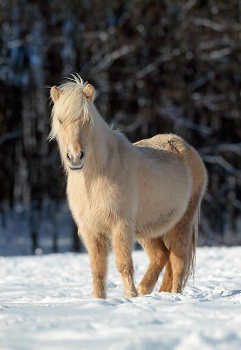 HOR 01 SS0076 01 © Kimball Stock Palomino Icelandic Horse Standing In Snow