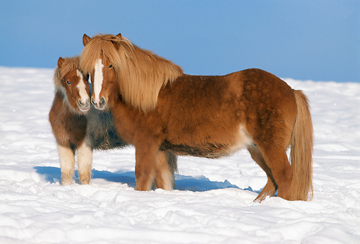 HOR 01 SS0078 01 © Kimball Stock Icelandic Mare And Foal Standing In Snow