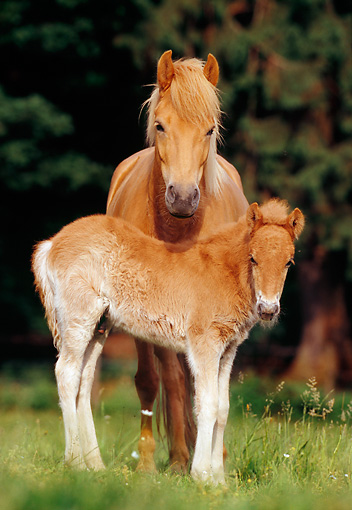 HOR 01 SS0082 01 © Kimball Stock Icelandic Mare And Foal Standing In Pasture