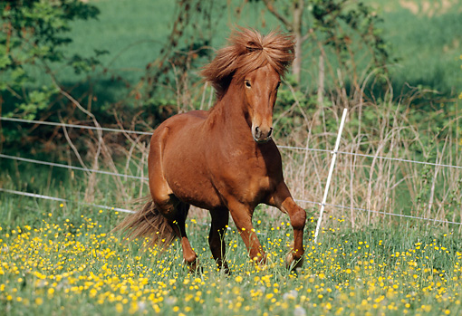 HOR 01 SS0092 01 © Kimball Stock Chestnut Icelandic Horse Cantering In Pasture