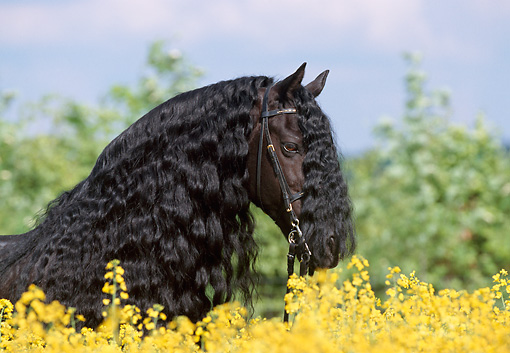 HOR 01 SS0110 01 © Kimball Stock Head Shot Of Friesian Horse Standing In Field Of Yellow Wildflowers