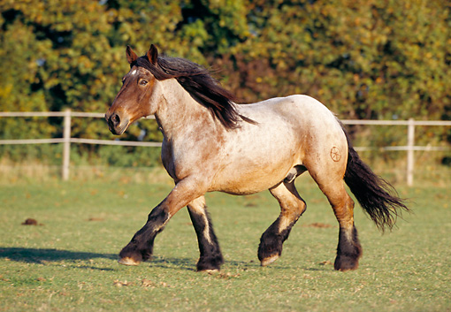 HOR 01 SS0112 01 © Kimball Stock Ardennes Draft Horse Trotting In Pasture