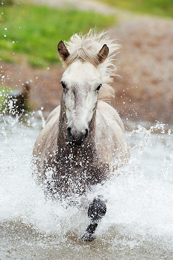 HOR 01 SS0149 01 © Kimball Stock Close-Up Of Icelandic Horse Running Through Water