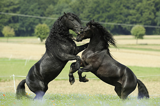 HOR 01 SS0150 01 © Kimball Stock Two Friesian Horses Fighting In Pasture