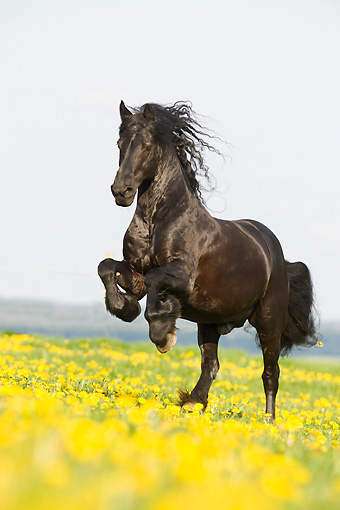 HOR 01 SS0154 01 © Kimball Stock Black Friesian Horse Galloping On Field With Yellow Flowers