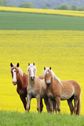 HOR 01 SS0159 01 © Kimball Stock Three Haflinger Colts Standing In Field