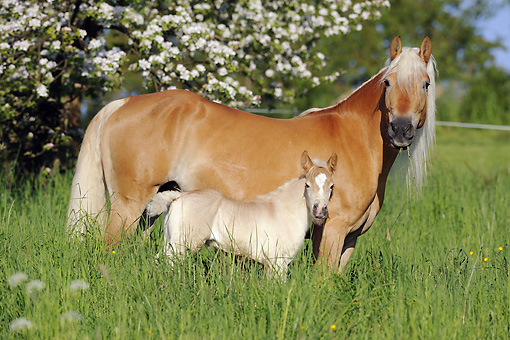 HOR 01 SS0162 01 © Kimball Stock Mare Haflinger With Foal Standing In Meadow