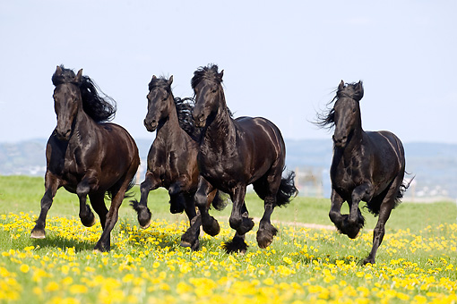 HOR 01 SS0167 01 © Kimball Stock Group Of Black Friesian Horses Galloping In Meadow With Yellow Flowers