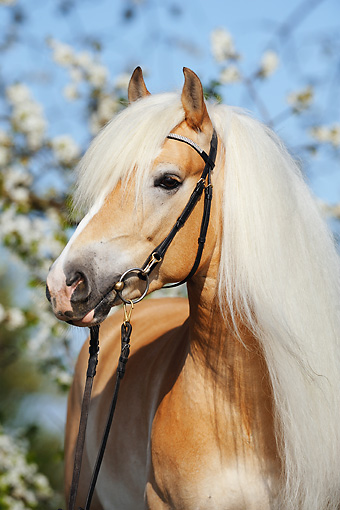 HOR 01 SS0171 01 © Kimball Stock Close-Up Of Chestnut Haflinger Wearing Halter