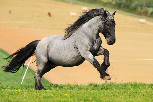 HOR 01 SS0172 01 © Kimball Stock Noriker Horse Galloping In Pasture