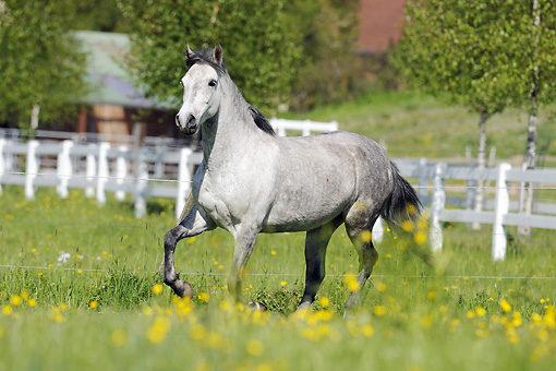 HOR 01 SS0173 01 © Kimball Stock Gray Paso Fino Trotting In Pasture With Yellow Flowers