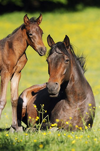 HOR 01 SS0175 01 © Kimball Stock Close-Up Of Mangalarga Mare Laying In Meadow With Foal