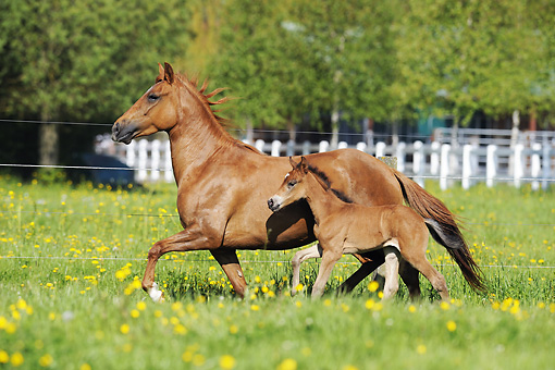 HOR 01 SS0177 01 © Kimball Stock Paso Fino Mare And Foal Trotting Through Pasture Profile