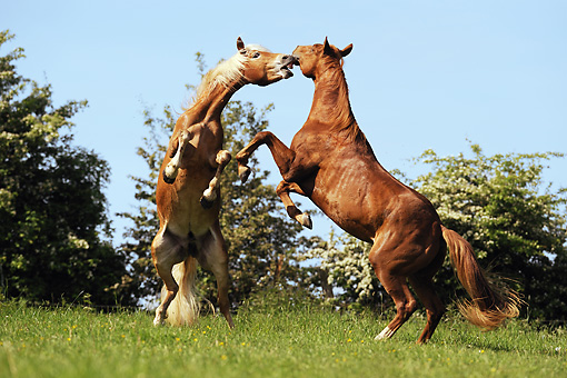 HOR 01 SS0179 01 © Kimball Stock Two Haflinger Quarter Horses Fighting In Meadow