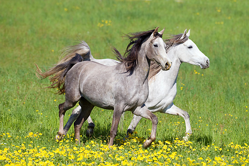 HOR 01 SS0181 01 © Kimball Stock White And Gray Arabian Horses Trotting Through Meadow With Yellow Flowers