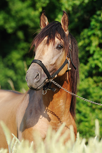 HOR 01 SS0183 01 © Kimball Stock Close-Up Of Andalusian Stallion Wearing Bridle