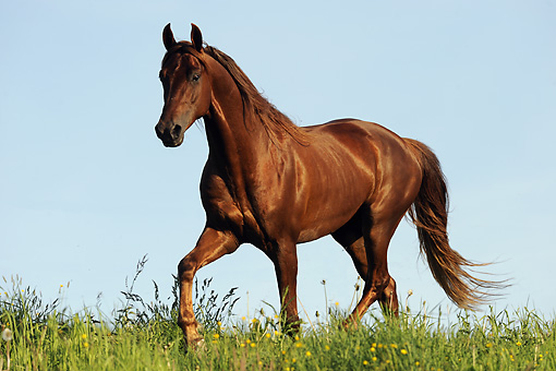HOR 01 SS0186 01 © Kimball Stock American Saddlebred Trotting In Meadow