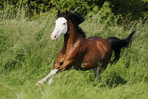 HOR 01 SS0187 01 © Kimball Stock Criollo Gelding Galloping In Meadow