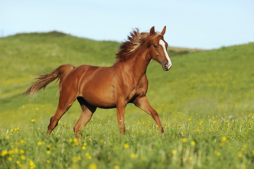 HOR 01 SS0189 01 © Kimball Stock American Saddlebred Yearling Galloping In Field Of Wildflowers