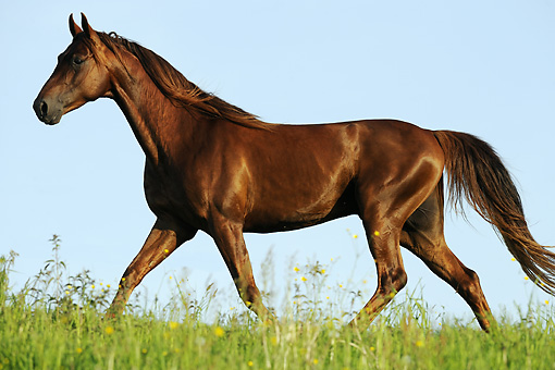 HOR 01 SS0193 01 © Kimball Stock American Saddlebred Stallion Trotting In Meadow