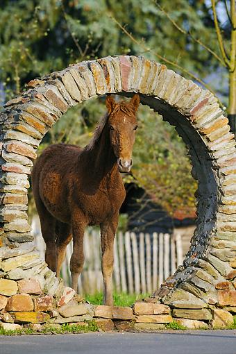 HOR 01 SS0202 01 © Kimball Stock Brown Curly Horse Yearling Standing By Stone Wall
