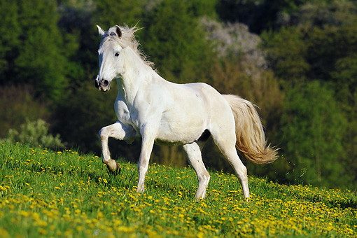 HOR 01 SS0203 01 © Kimball Stock Partbred Horse Gelding Trotting In Field Of Wildflowers