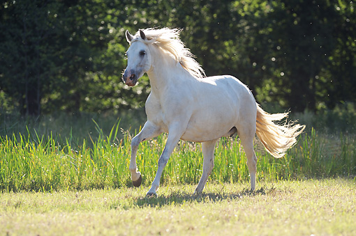 HOR 01 SS0206 01 © Kimball Stock Gray Andalusian Galloping Through Field