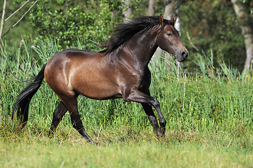 HOR 01 SS0208 01 © Kimball Stock Black Andalusian Cantering In Meadow