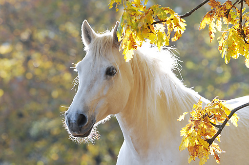 HOR 01 SS0216 01 © Kimball Stock Head Shot Of White Connemara Pony Standing Among Branches