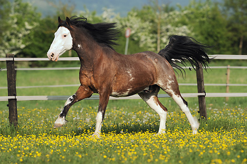 HOR 01 SS0225 01 © Kimball Stock Criollo Gelding Galloping In Spring Pasture