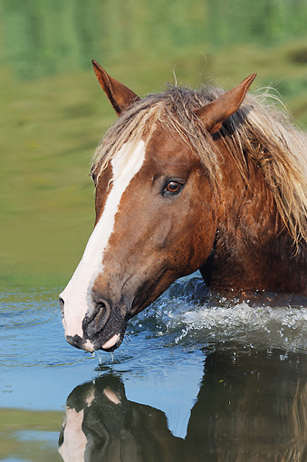 HOR 01 SS0229 01 © Kimball Stock Portrait Of Curly Horse Walking Through Water