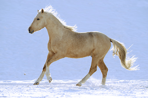 HOR 01 SS0231 01 © Kimball Stock Curly Horse Colt Galloping Through Snow Profile